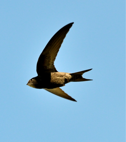 Swift photo: David Tipling/2020VISION